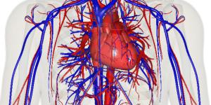 Где находится главный двигатель крови